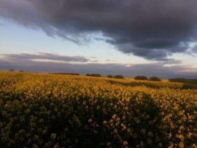 Moody sky over oil seed rape field
